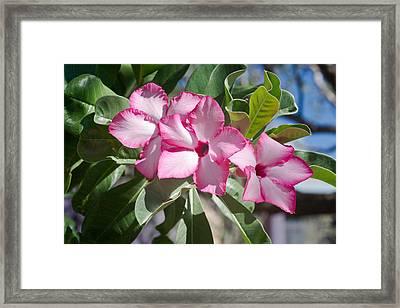 Fushia Oleander Near Phoenx Arizona 2 Framed Print by Douglas Barnett