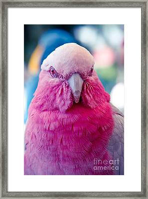 Galah - Eolophus Roseicapilla - Pink And Grey - Roseate Cockatoo Maui Hawaii Framed Print by Sharon Mau