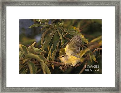 Galapagos Flycatcher Framed Print by Ron Sanford