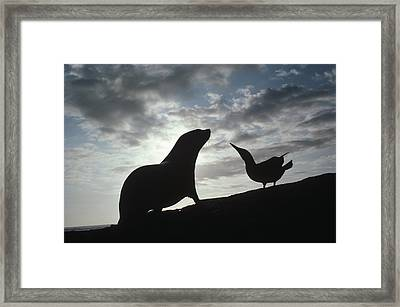 Galapagos Fur Seal Pup And Blue-footed Framed Print by Tui De Roy