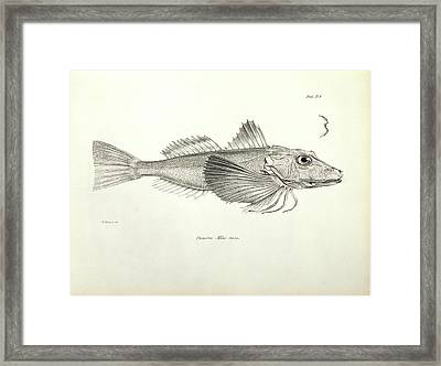 Galapagos Gurnard Framed Print by Natural History Museum, London