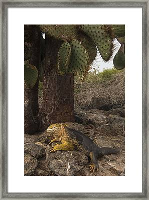 Galapagos Land Iguana South Plaza Framed Print by Pete Oxford