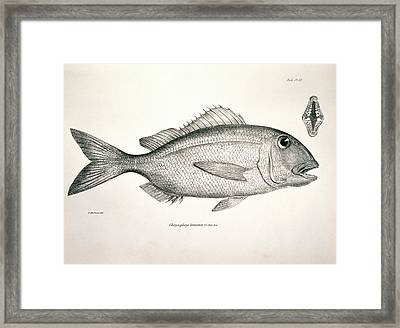 Galapagos Porgy Framed Print by Natural History Museum, London