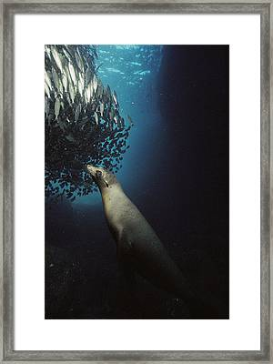 Galapagos Sea Lion Pup Fishing Framed Print by Tui De Roy