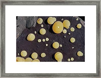 Galcite Globules On Basalt Framed Print by Dirk Wiersma