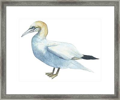 Gannet  Framed Print by Anonymous