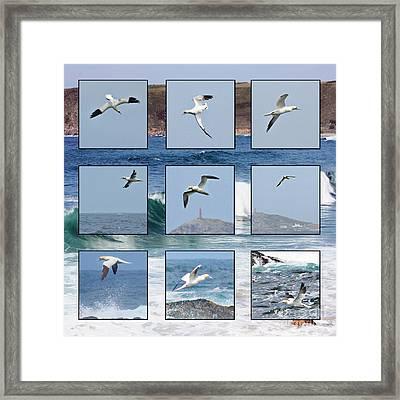 Gannets Galore Framed Print by Terri Waters