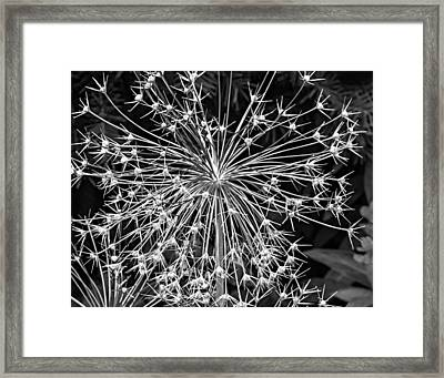 Garden Fireworks 2 Monochrome Framed Print by Steve Harrington