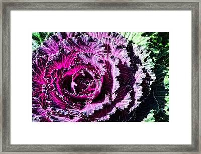 Garden Haze - Purple Kale Art By Sharon Cummings Framed Print by Sharon Cummings