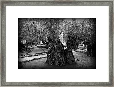 Garden Of Gethsemane Olive Tree Framed Print by Stephen Stookey