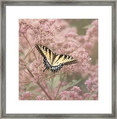Garden Visitor - Tiger Swallowtail Framed Print by Kim Hojnacki