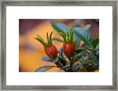 Gardenia Hips Framed Print by Frank Tozier