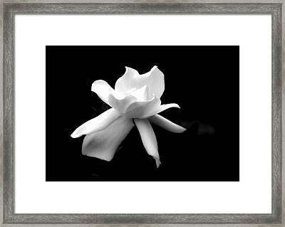 Gardenia In The Shadows Framed Print by Shelby  Young