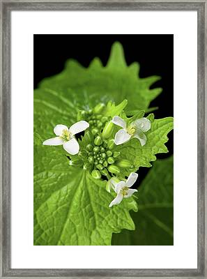 Garlic Mustard Flowers Framed Print by Peggy Greb/us Department Of Agriculture