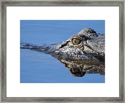 Gator Eyes  Framed Print by Zina Stromberg