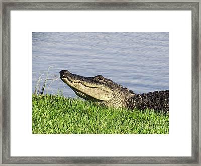 Gator's Smile Framed Print by Zina Stromberg