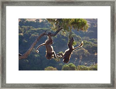 Gelada Baboons Playing Framed Print by Juan-Carlos Munoz