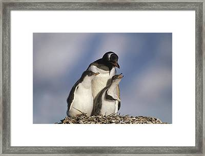 Gentoo Penguin Chicks Begging South Framed Print by Gerry Ellis