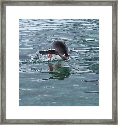 Gentoo Penguin Emerges From The Ocean Framed Print by Art Wolfe