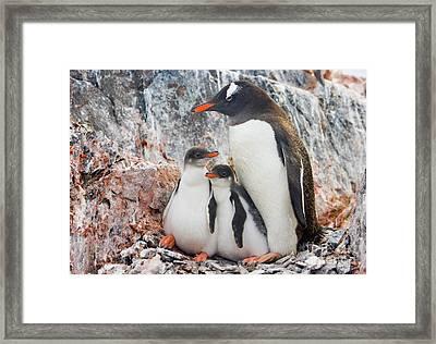 Gentoo Penguin Family Booth Isl Framed Print by Yva Momatiuk and John Eastcott