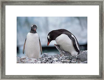 Gentoo Penguin With Chick Begging Framed Print by Konrad Wothe