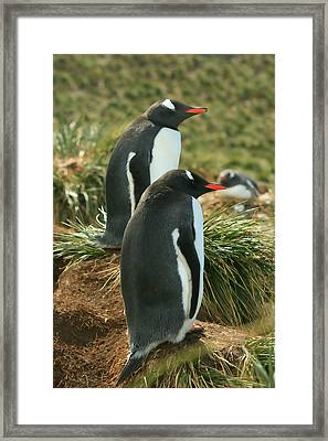 Gentoo Penguins Framed Print by Amanda Stadther