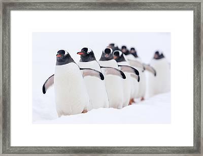 Gentoo Penguins In Line Cuverville Framed Print by Alex Huizinga