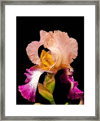Georgeous Iris 2 Framed Print by Douglas Barnett