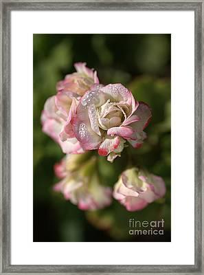 Geranium Flowers Framed Print by Joy Watson