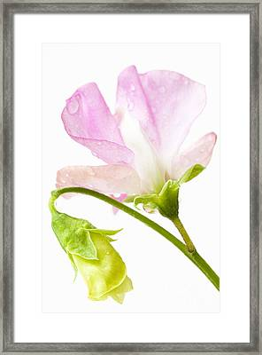 Geranium Pink Framed Print by Anne Gilbert