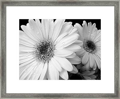 Gerber Daisies In Black And White Framed Print by Jennie Marie Schell