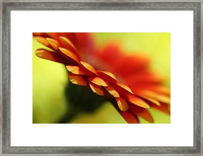 Gerbera Daisy Flower II Framed Print by Natalie Kinnear
