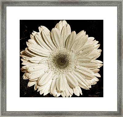 Gerbera Daisy Framed Print by Mark Ashkenazi