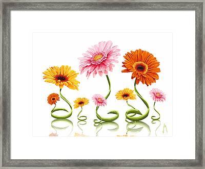 Gerbera Daisy Framed Print by Veronica Minozzi