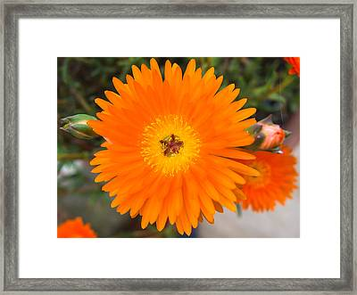 Gerbera Flower Framed Print by Giovanni Bertagna