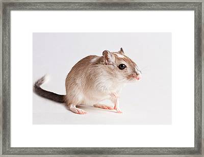 Framed Print featuring the photograph Gerbil Gerbillinae by David Kenny
