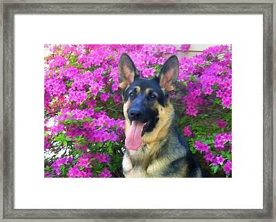 German Shepherd Dog With Azaleas Framed Print by Donna Doherty