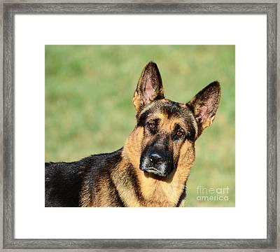German Shepherd Funny Portrait Framed Print by Aleksandar Mijatovic