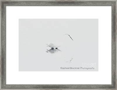 Ghost Egret Framed Print by Raphael Bruckner
