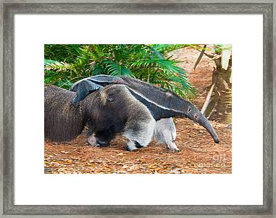 Giant Anteater Mother And Baby Framed Print by Millard H. Sharp