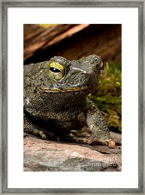 Giant Asian Toad Framed Print by Frank Teigler