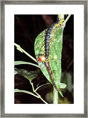 Giant Centipede Eating A Stick Insect Framed Print by Dr Morley Read