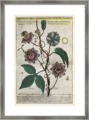Giant Granadilla Flowers Framed Print by Natural History Museum, London