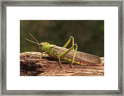 Giant Grasshopper Framed Print by Ktsdesign