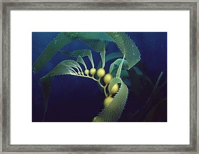 Giant Kelp Macrocystis Pyrifera Detail Framed Print by Flip Nicklin