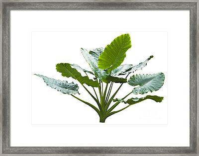Giant Leaf Framed Print by Atiketta Sangasaeng