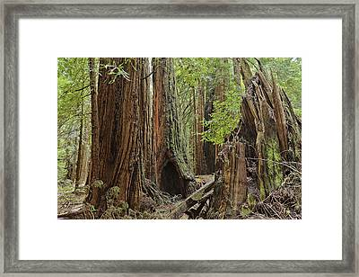Giant Redwoods Muir Woods Framed Print by Marianne Campolongo