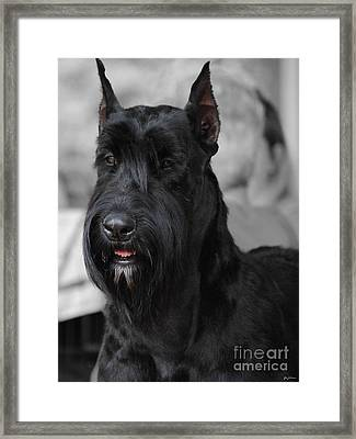 Giant Schnauzer Framed Print by Jai Johnson