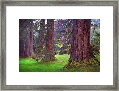Giant Sequoias II. Benmore Botanical Garden. Scotland Framed Print by Jenny Rainbow