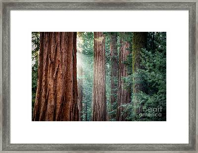 Giant Sequoias In Early Morning Light Framed Print by Jane Rix